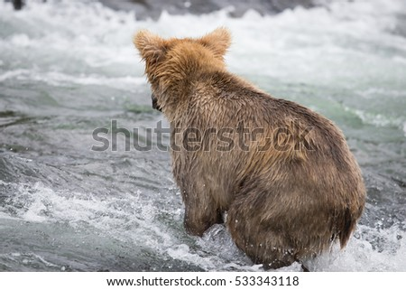young adult grizzly bear close up standing in a river fishing with back to camera