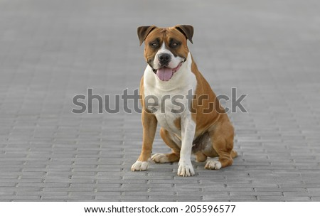 Young adult male American Staffordshire Terrier dog outdoors in a park