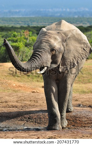 Young African Elephant at a watering hole