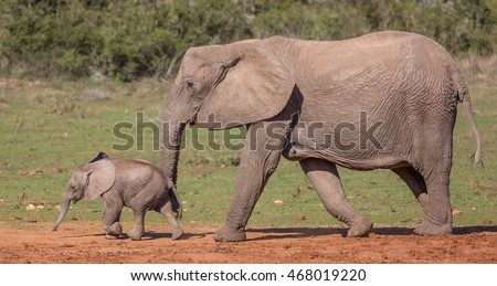 Young African elephant calf running ahead of it's mother