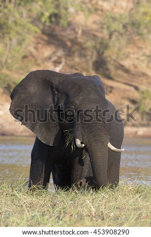 Young African Elephant feeding and bathing in the Chobe River at Kasane, Botswana