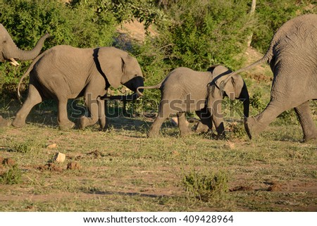 Young African elephant in a breeding herd following the matriarch to the waterhole - stock photo