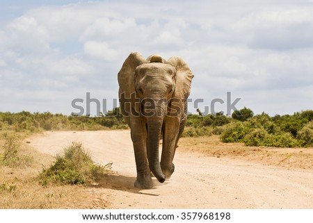 Young African elephant running down a gravel road on a hot summers day - stock photo