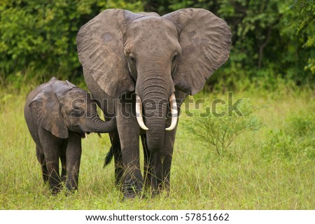 Young African elephant touches his mother - stock photo