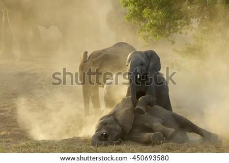 Young African Elephants (Loxodonta africana) Playing In Sunset, Tuli - Botswana - stock photo
