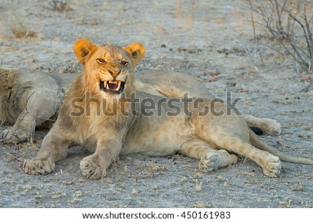 Young aggressive male lion shows teeth with sunlight on its head at sunset in Etosha National Park, Namibia