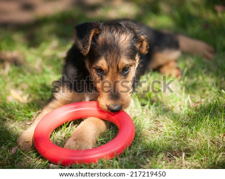 Young airedale terrier playing in the garden - stock photo