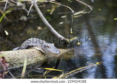 Young Alligator in the Everglades national park, Florida, America.  - stock photo