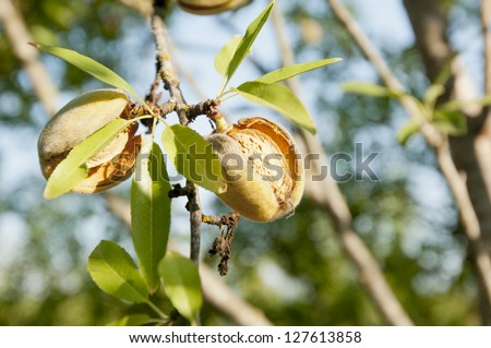 Young almond ripening on the tree - stock photo