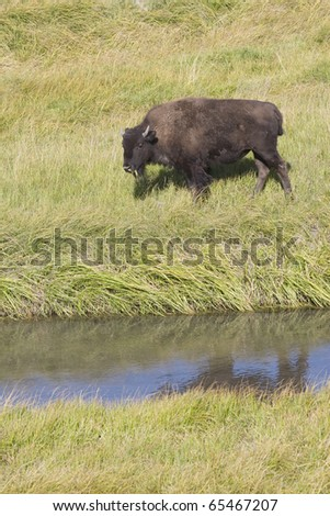 Young American Bison calf grazing the meadows of Yellowstone National Park - stock photo