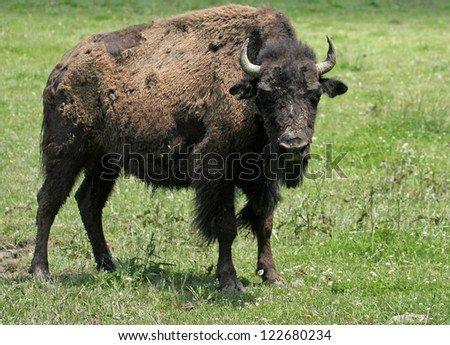 Young American Bison with Full Attention