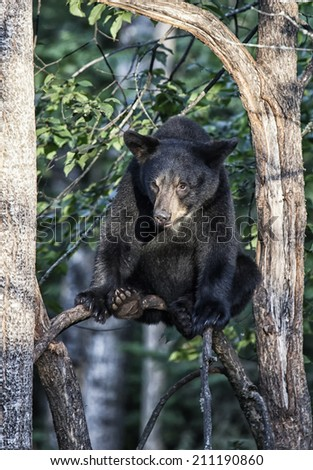 Young, American Black Bear sits on a tree branch, safely looking at goings on down below.  Summer in northern Minnesota - stock photo