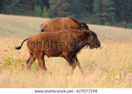 Young American Buffalo at National Bison Range Montana - stock photo