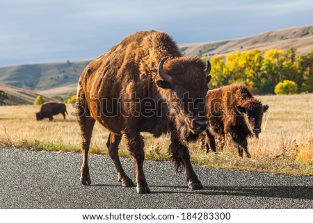 Young american Buffalo / Bison in Custer State Park, South Dakota - stock photo