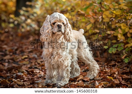 Young American cocker spaniel in autumn forest - stock photo