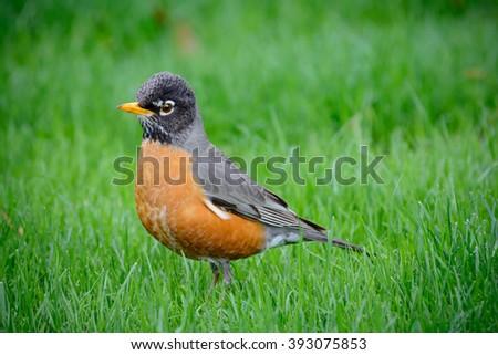 Young American Robin Redbreast In Springtime Grass. Bright eyes, yellow beak and detailed feathers. Dirty beak