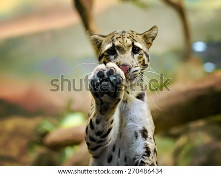 Young Amur or Manchurian leopard - one of the rarest felids in the world - stock photo