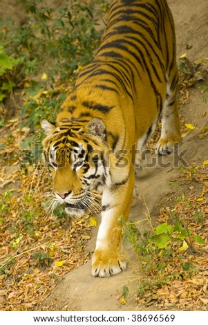 young Amur tiger roams the trail - stock photo
