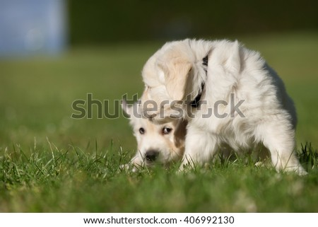 Young and active purebred golden retriever puppies playing outdoors on the garden lawn on grass meadow on a sunny summer day.