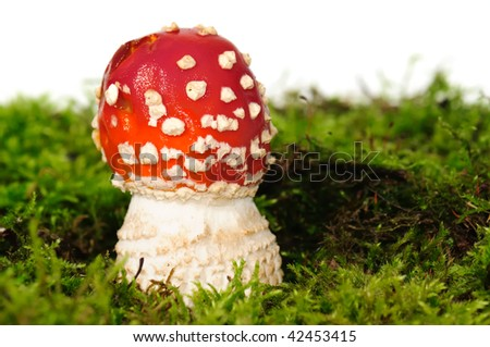 Young and beautiful poison mushroomFly Agaric. Its color is deep red with white spots on the cap. - stock photo