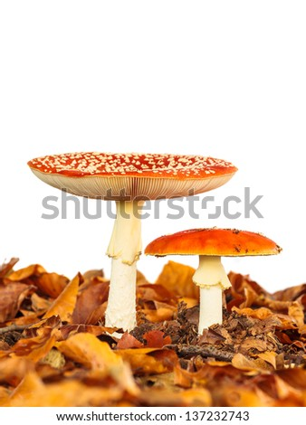 Young and fully grown fly agaric toadstool with autumn leaves isolated on a white background