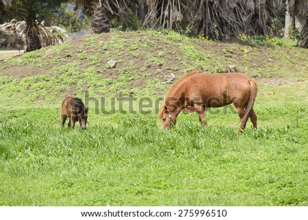 young and mother pony(a kind of small horse) in a green field in Jeju Island, Korea.
