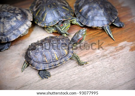 Young and old Turtles - stock photo