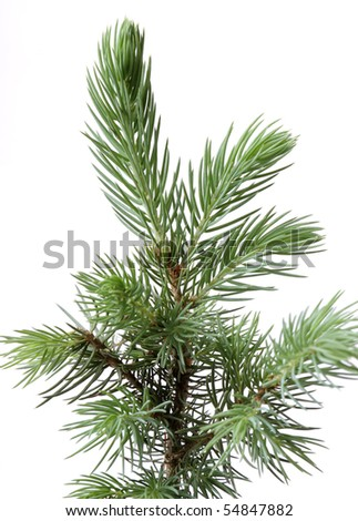 Young and small fir.