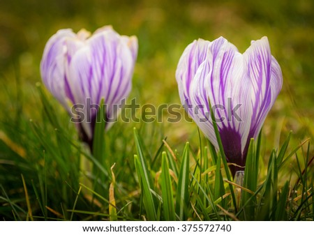 young and tender crocuses in the grass - stock photo
