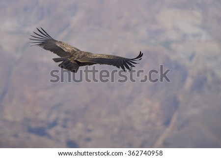 Young Andean Condor (Condor Vultur gryphus) flying against a background of the Andes Mountains near Santiago in Chile. - stock photo