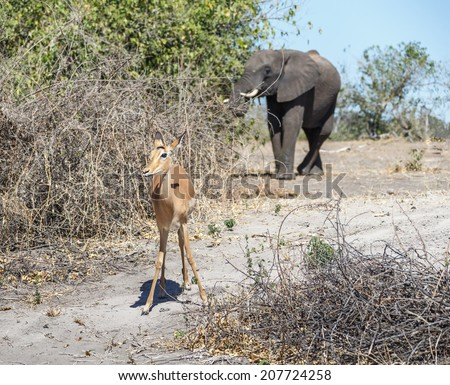 Young antelope and elephant in the background in in national park Chobe, Botswana - stock photo