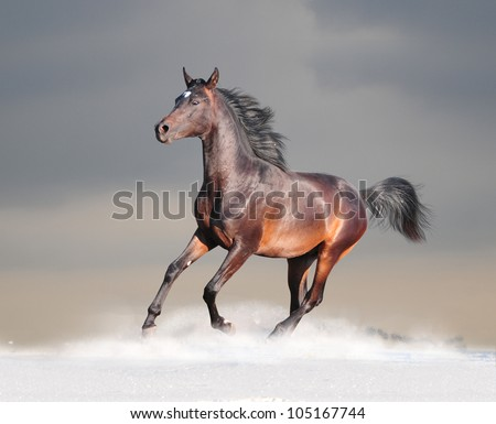 young arab horse runs in winter - stock photo