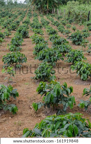 Young arabica coffee plantation. - stock photo