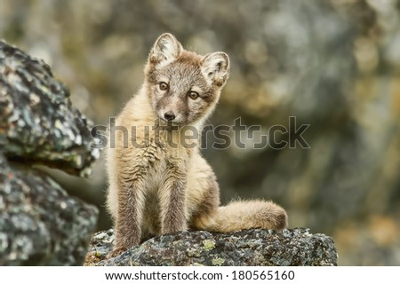 young arctic fox looks curiously in svalbard in summer - stock photo