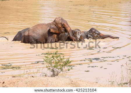 Young Asian elephants swimming at  Village elephants in Thailand - stock photo