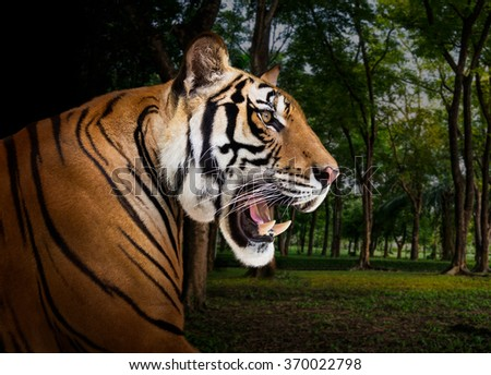 Young asian siberian tiger in the wild - stock photo