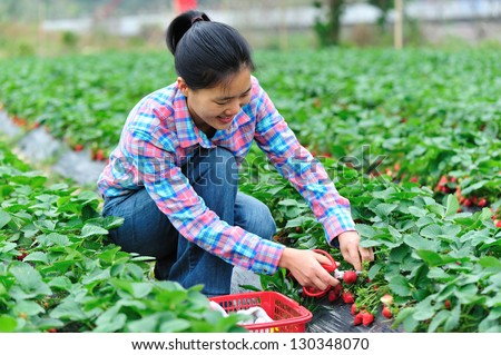 young asian woman harvesting in strawberry field - stock photo
