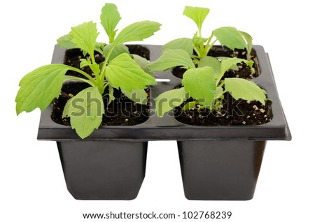 Young aster flower seedlings isolated on white background