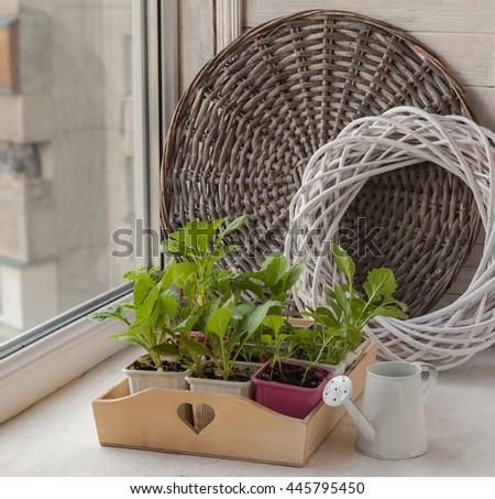 Young aster flower seedlings on the window - stock photo
