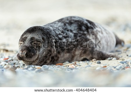 Young atlantic Grey Seal, Halichoerus grypus, detail portrait, at the beach of island Helgoland, Dune, Germany in spring