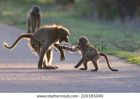 Young baboons playing in a road late afternoon before going back to their tree - stock photo