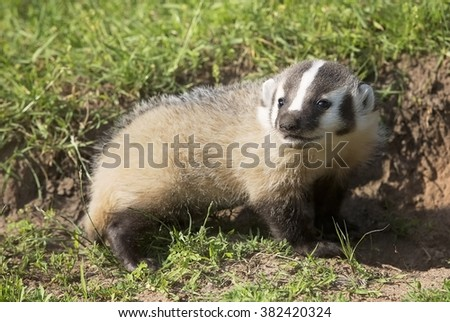 Young, baby American Badger, close up, profile with shallow depth of field.  Captive animal.