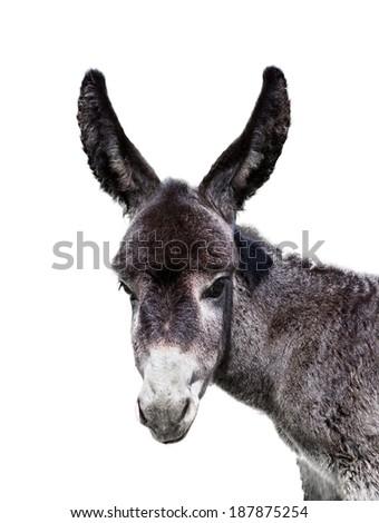young baby donkey isolated on white - stock photo