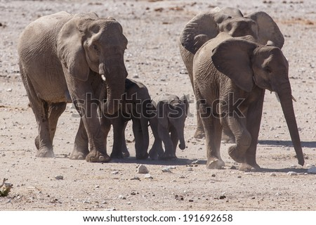 Young Baby Elephant in Etosha National Park in Nambia, Africa - stock photo