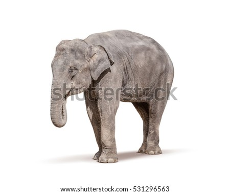 young baby elephant isolated on white background with clipping path
