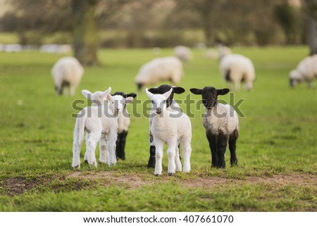 Young baby spring lambs and sheep in a green farm field - stock photo
