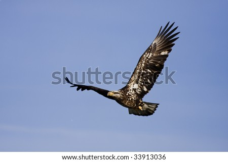 Young Bald Eagle flying by looking for food.