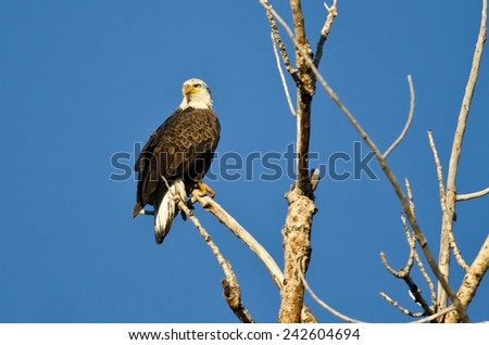 Young Bald Eagle Perched in a Dead Tree - stock photo