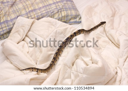 Young ball python (Python Regius) pet snake crawling on a quilt covering a bed. - stock photo