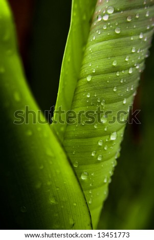 Young banana leaf with water drops - stock photo